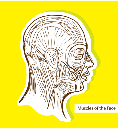 facial muscles: Human anatomie Muscles of the Face (Facial Muscles) - Medical Illustration, Human Anatomy Drawing Background