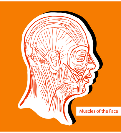 human face: Human anatomie Muscles of the Face (Facial Muscles) - Medical Illustration, Human Anatomy Drawing Background