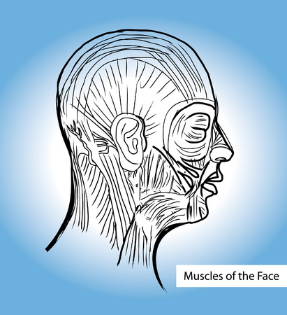 depressor: Human anatomie Muscles of the Face (Facial Muscles) - Medical Illustration, Human Anatomy Drawing Background