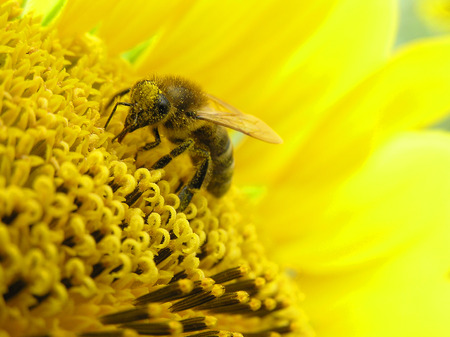 The bee collects honey on a bright yellow flower of a sunflower Stock Photo