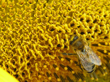 The bee collects honey on a bright yellow flower of a sunflower Stock Photo - 1686274