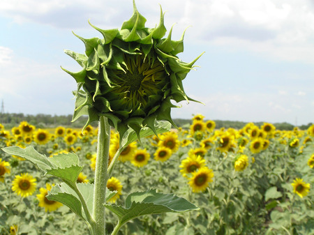 Above a field the bud of a flower of a sunflower towers