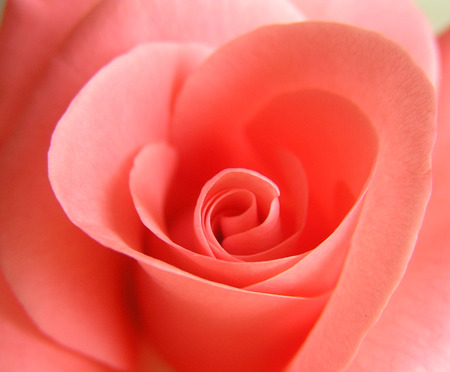Pink rose in the form of  Stock Photo