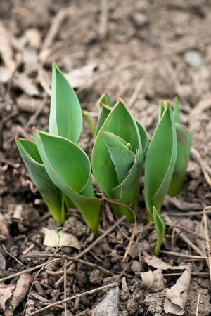 Few sprouts of tulip forced ones the way through earth on the field Stock Photo
