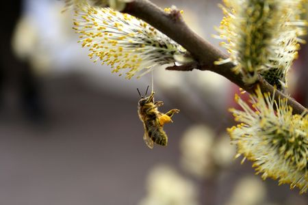 The bee is groundless and collects pollen paws on a flower of a willow Stock Photo
