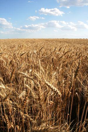 Wheaten field with large ears
