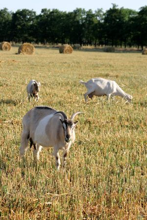Three goats are grazed on the oblique floor