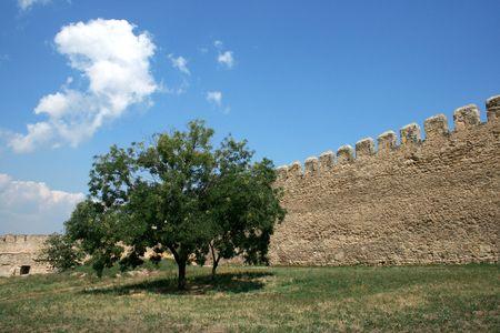 tree growing near to a stone wall  Stock Photo