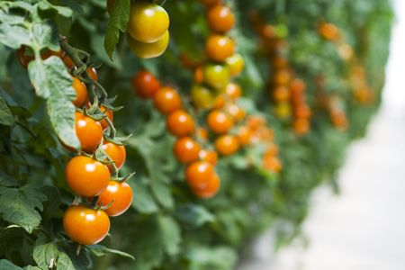 Branches of cherry  tomatoes growing in a hothouse