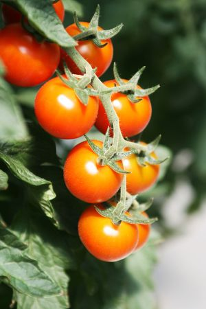 Close-up branch of cherry  tomatoes growing in a hothouse