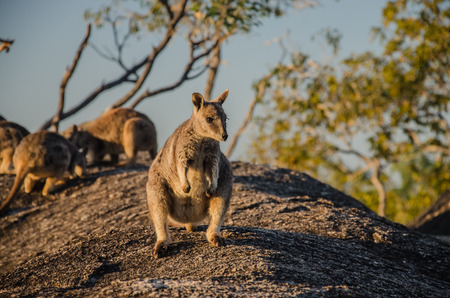 wallaby: Rock wallaby in the Granite Gorge Nature Park