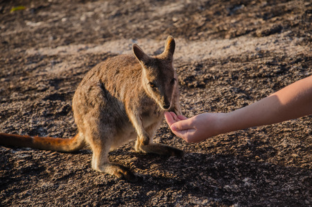 wallaby: Feeding of a small rock wallaby in the Granite Gorge Nature Park