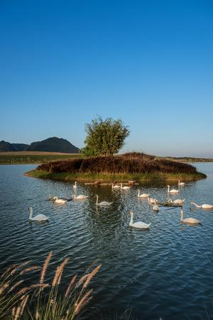 tranquilly: Swan on Lake