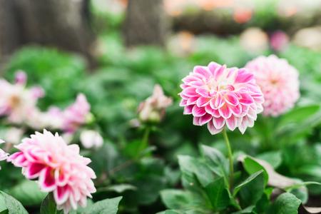 pink flowers on green garden background