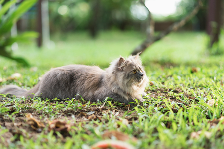 red clover: Siberian gray cat sitting on the grass.