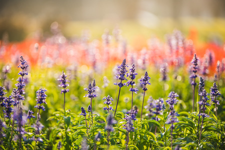 violet lavender flowers for nature background in the morning Banque d'images