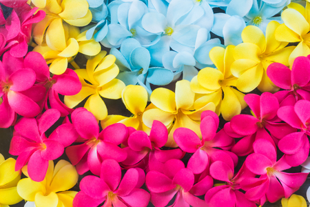 Colorful Plumeria flowers Stock Photo
