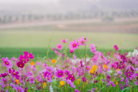 Cosmos flower of grassland Stock Photo