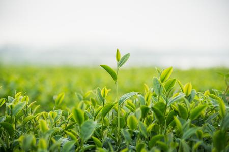 tea farm in the morning Stock Photo