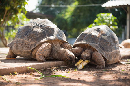 Two Big Turtles are eating the vegetables Stock Photo