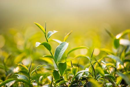 Green tea and fresh leaves, nature green tea concept