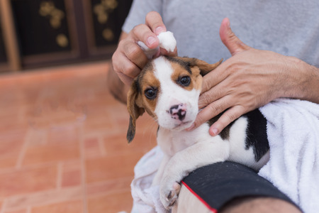man holding puppy beagle Stock fotó