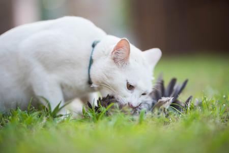 White cat hunter bird and eating on the field Archivio Fotografico