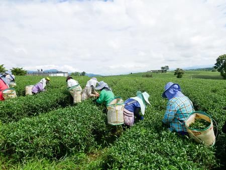 labor picking green tea leaves at tea farm