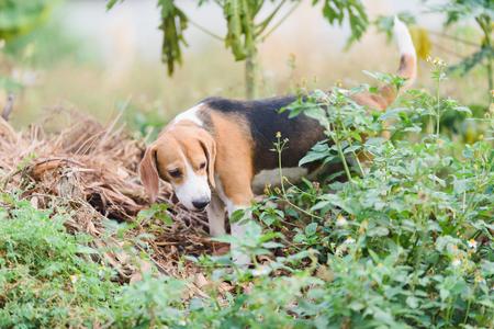 beagle portrait Stok Fotoğraf