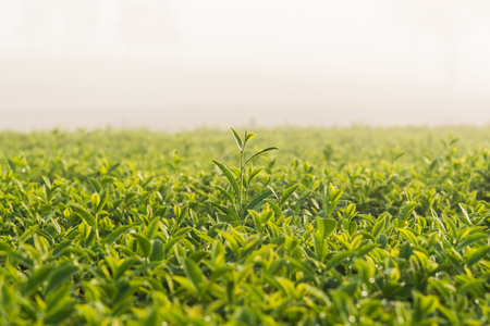 Green tea and fresh leaves