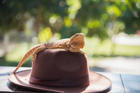 orange Iguana on hat Stock Photo