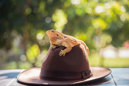 orange Iguana on hat Stock Photo - 102594049