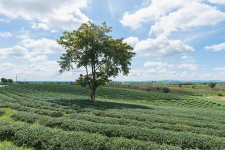 Tea farm at chiang rai, Thailand