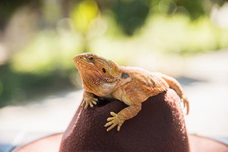 orange Iguana on hat Stock Photo
