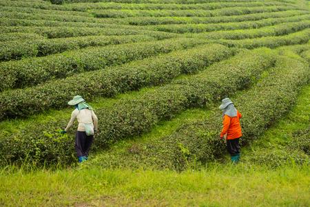worker woman picking green tea leaf at the tea farm
