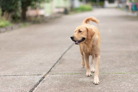 close up of golden retriver walking on the road
