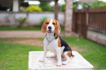 portrait of cute beagle on the table