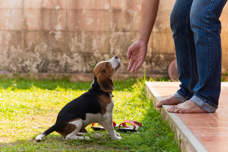 cute beagle puppy playing with owner Imagens