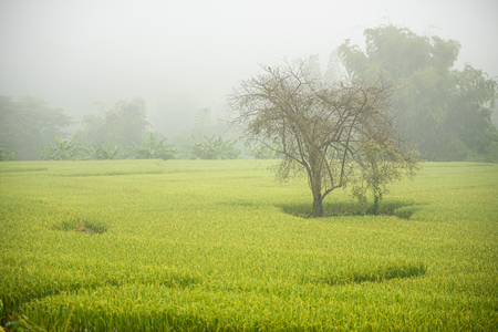 Rice field with pathway in the morning