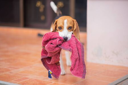 portrait of cute puppy beagle