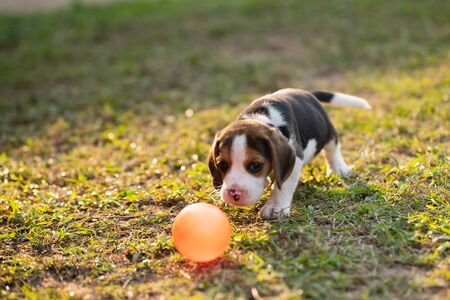 cute puppy beagle playing ball in the garden Imagens