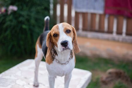 cute puppy beagle standing on white table Imagens