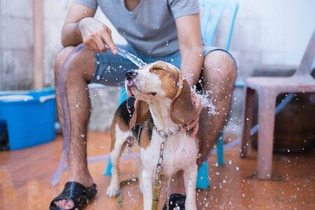 cute puppy beagle take a shower