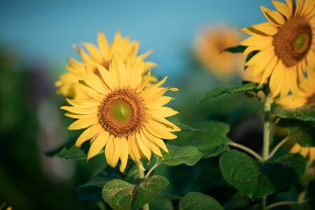 sunflowers in the morning at Chiang mai, Thailand