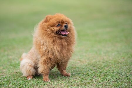 Pomeranian standing on the lawn at the park