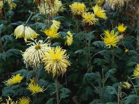 close up of sear yellow flowers, nature flower concept Banco de Imagens