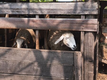sheep in the cage at the zoo, chiang rai Thailand 스톡 콘텐츠