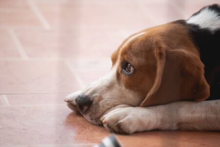 cute puppy beagle lonely sleep on the floor