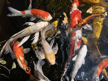 close up koi fish in the pond Stock Photo