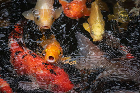 Colorful koi fish in the 